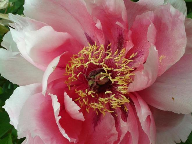 Pivoine au Jardin Botanique Tours 2014-04-20 - fhupon©2014